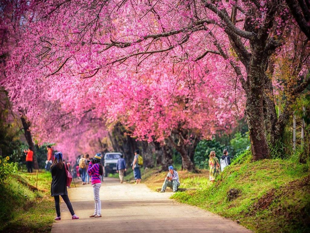 images/tour/11617943669Cherry blossoms in Chiang Mai, Thailand.jpg